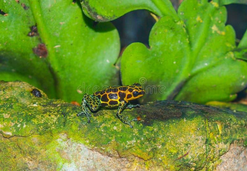 Отравите лягушку дротика стоковая фотография rf