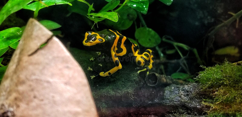 Отравите лягушку дротика стоковые фотографии rf