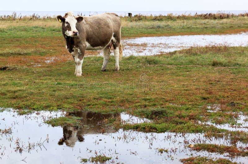 Отражать корову в Nas Lilla Hammars, Швеция стоковые фотографии rf