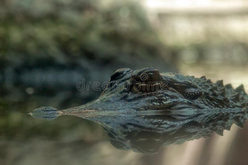 Отражение американского аллигатора стоковое фото rf