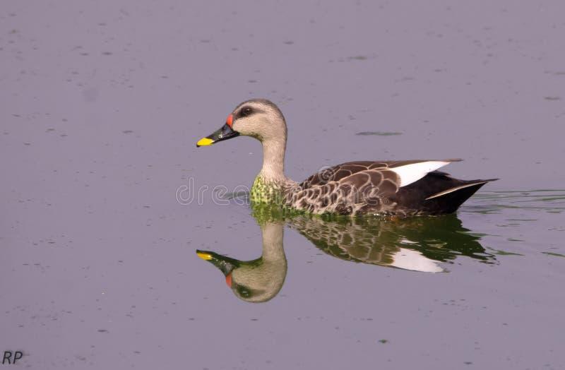 Отражение в воде Teal утки стоковое изображение rf