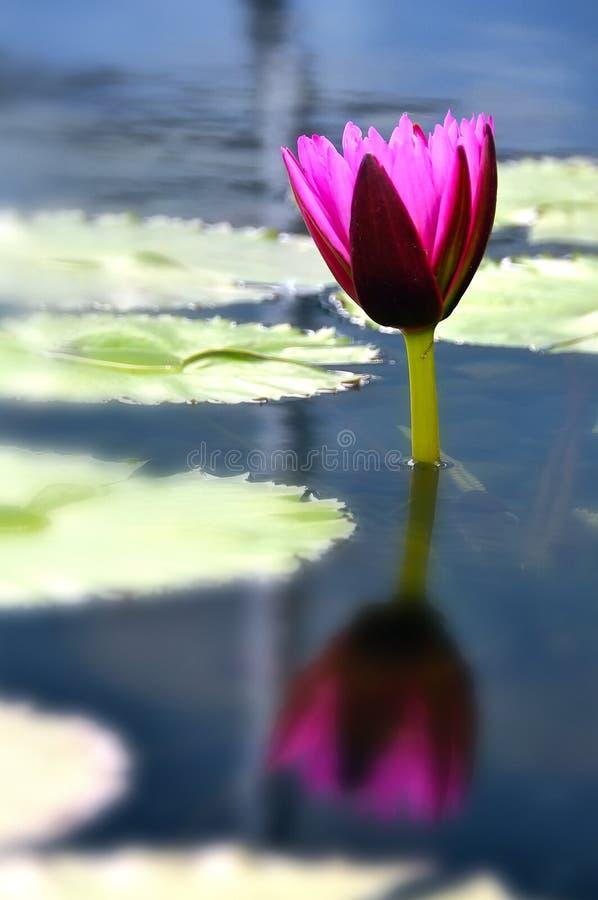 отражение лилии стоковая фотография rf