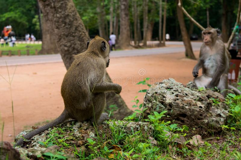 Отражение обезьяны - естественный обман зрения стоковые фотографии rf