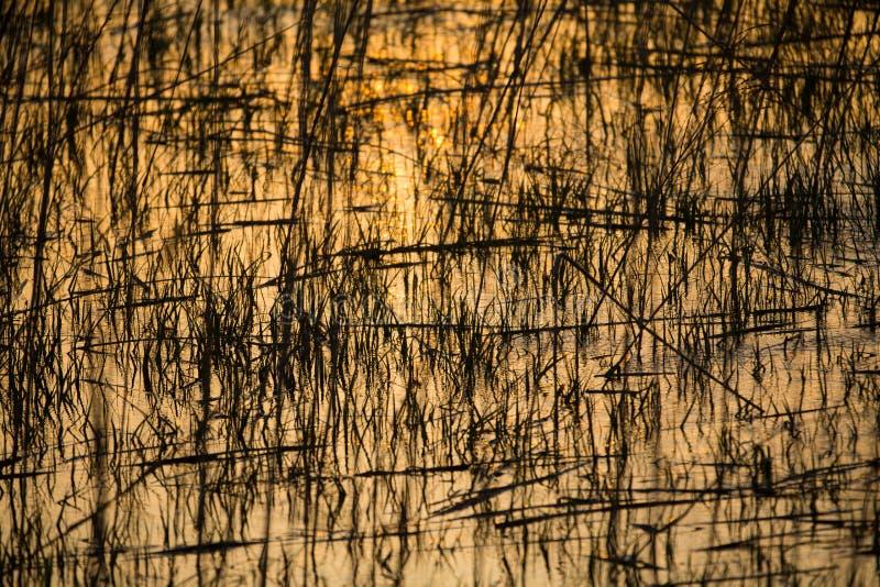 Отражение тростников на поверхности воды в золотых лучах t стоковые изображения rf