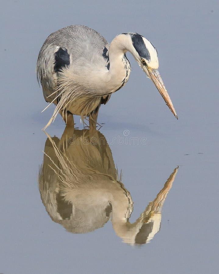 Отражение цапли в воде стоковое изображение