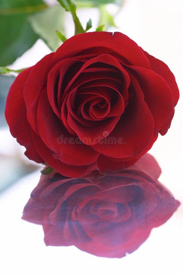 отражение 8 красных цветов подняло стоковое изображение rf