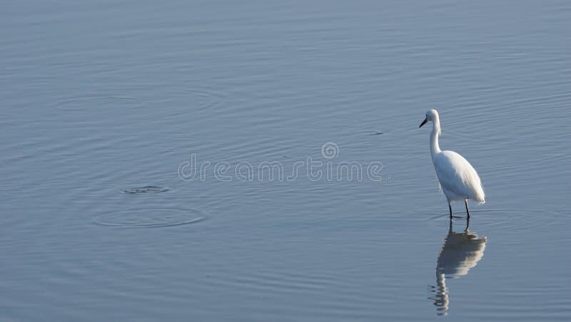 отражение egret снежное стоковые изображения rf