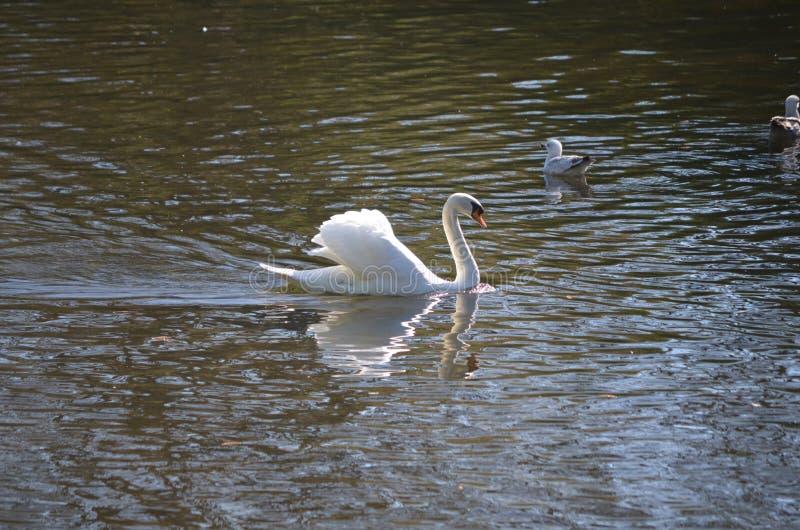 Отражения белого лебедя заплывания в пруде стоковое изображение