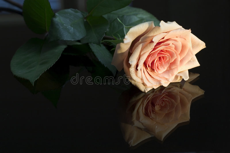 отраженная роза одиночная стоковая фотография