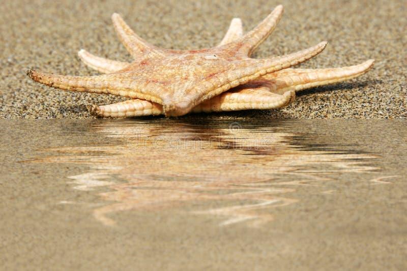 отраженные starfish стоковое изображение