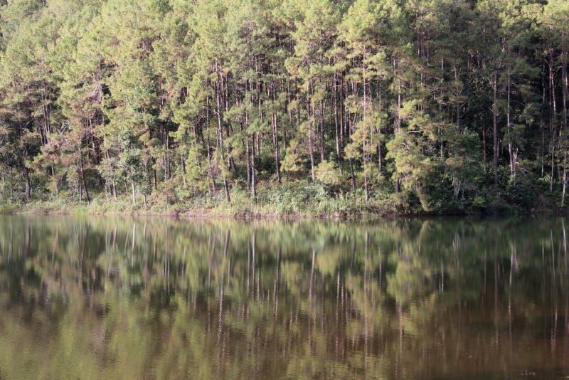 Отразите сосновый лес с болотом стоковое фото rf