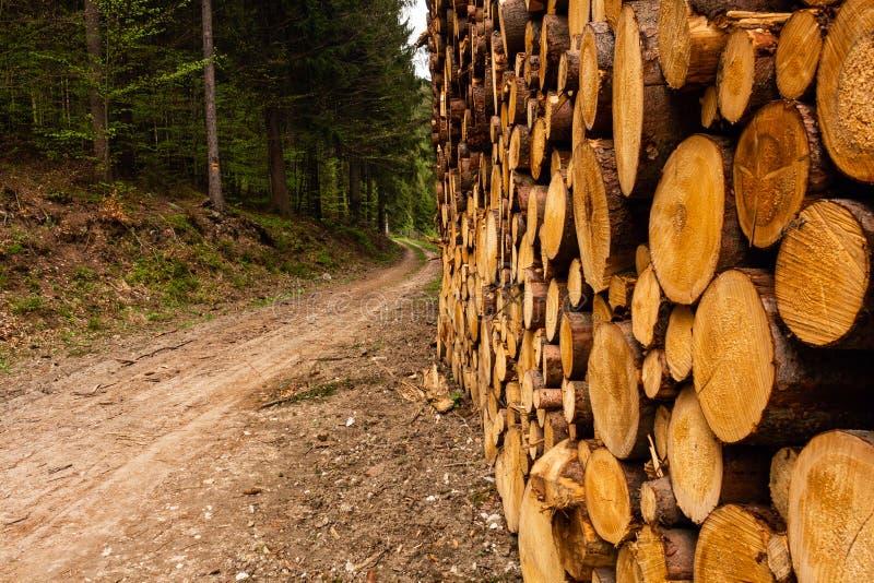 Отрежьте сосну внутри поперечного сечения леса молодой сосны стоковая фотография