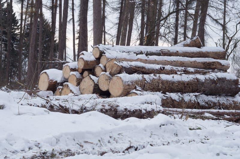 Отрезанные деревья на том основании Санитарное вырезывание старых деревьев в парке стоковое фото rf