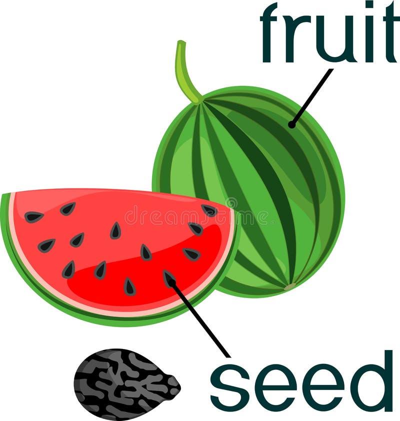 Отрезанные красные арбуз и семя на белой предпосылке иллюстрация вектора