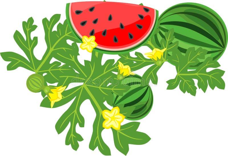 Отрезанные красные листья арбуза и зеленого цвета на белой предпосылке иллюстрация штока