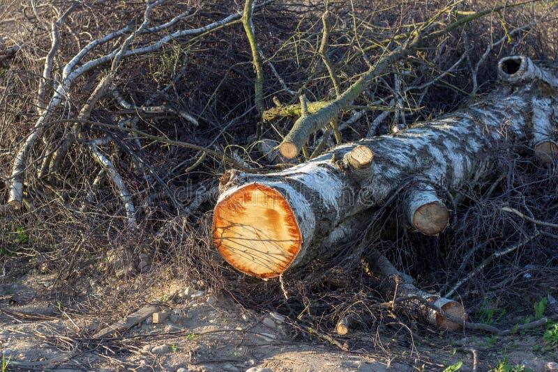 Отрезок вниз со ствола дерева лежа в лесе в осени Повреждение окружающей среды и разрушение, концепция загрязнения природы стоковое изображение rf
