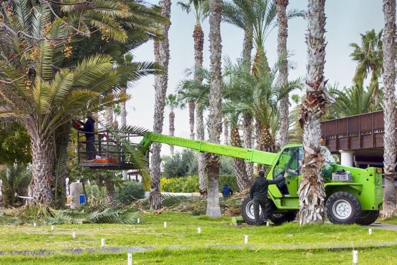 Отрезок работников и очищает листья ладоней в туристической зоне Paphos стоковое фото rf