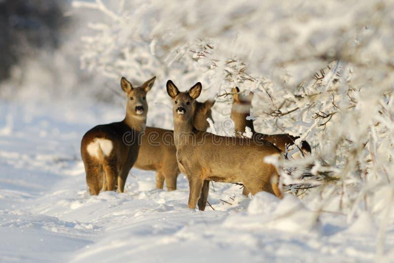 отряд козуль deers стоковая фотография rf