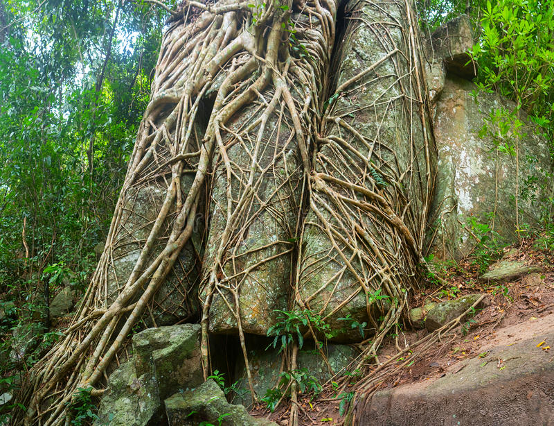 Отставая корни тропических деревьев разделенных через огромные утесы стоковые изображения rf
