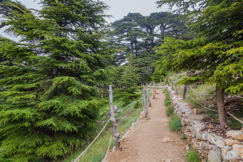 Отстаньте в лесе кедра в долине Qadisha в Ливане стоковое изображение rf