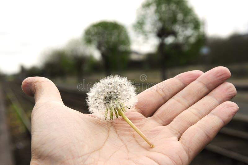 Отсутствие ветра стопа одуванчика сегодня в руке стоковое изображение rf