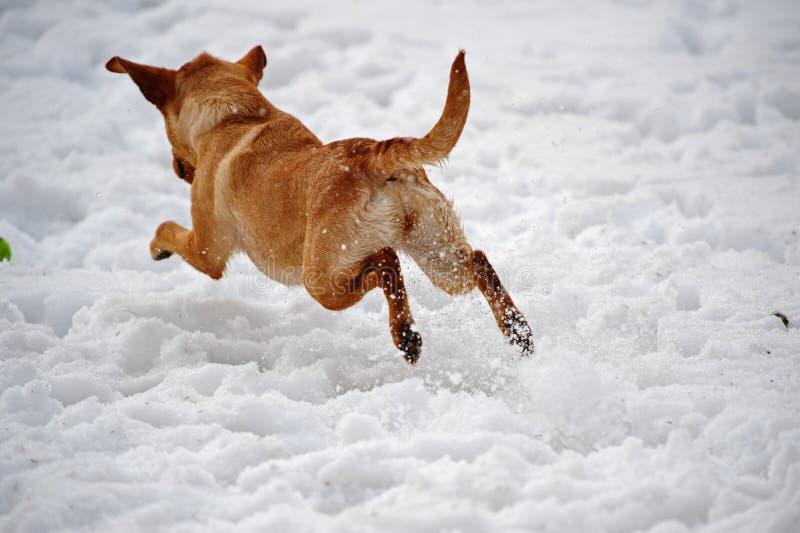 отсутствующая собака камеры перескакивая снежок стоковое изображение rf