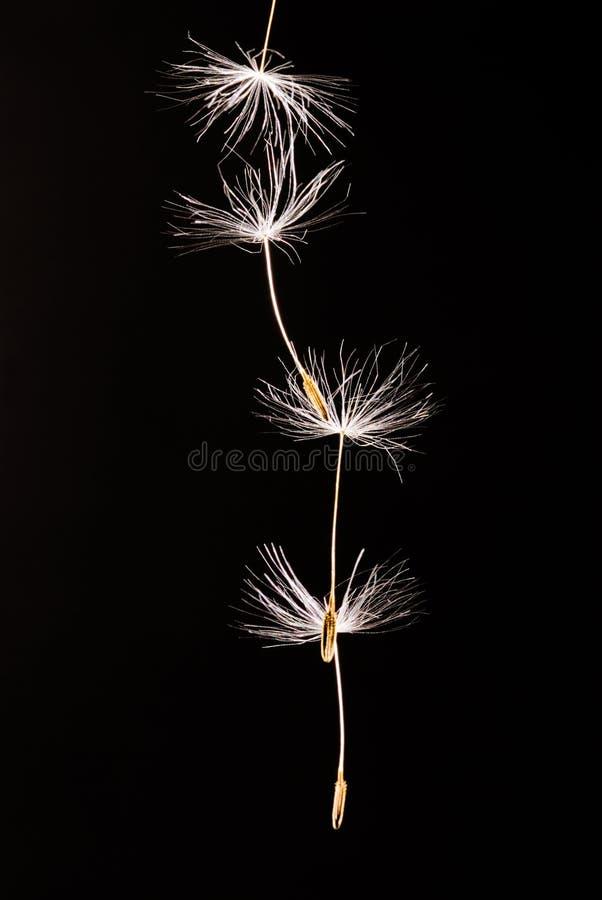 отсутствующие семена летания одуванчика стоковые фотографии rf