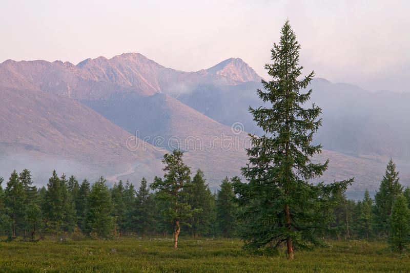 Отдельный лес лиственницы на горной цепи предпосылки стоковая фотография rf
