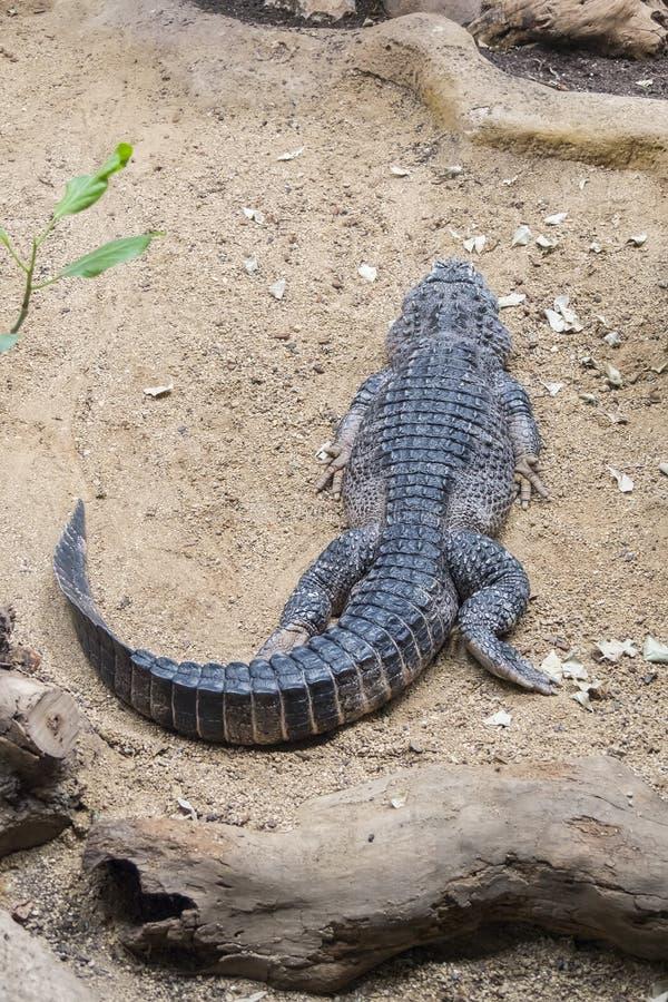 Отдыхать аллигатора китайский на песке стоковое изображение rf