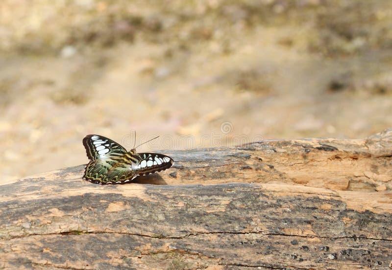 Отдыхать бабочки клипера (parthenos sylvia) стоковая фотография rf