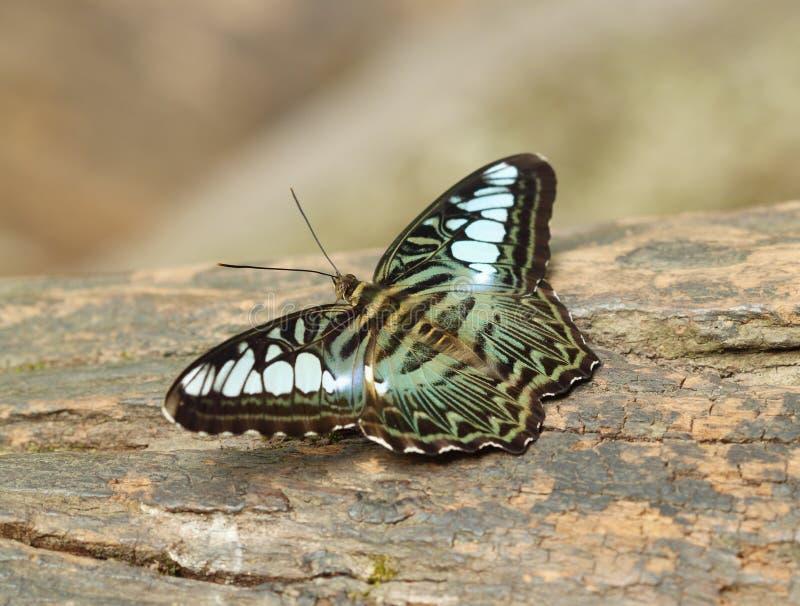 Отдыхать бабочки клипера (parthenos sylvia) стоковое изображение