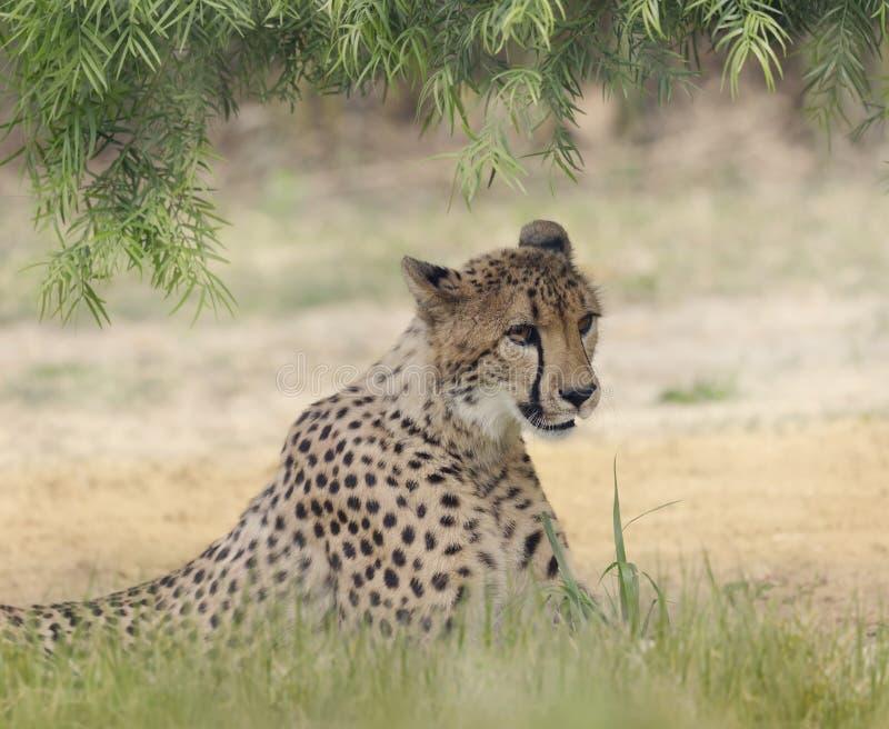 Отдыхать гепарда (jubatus Acinonyx) стоковые изображения rf