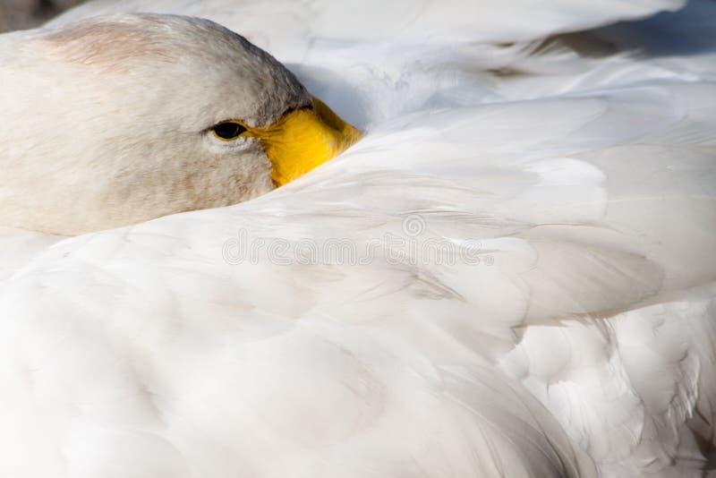 Отдыхать лебедя стоковые фото