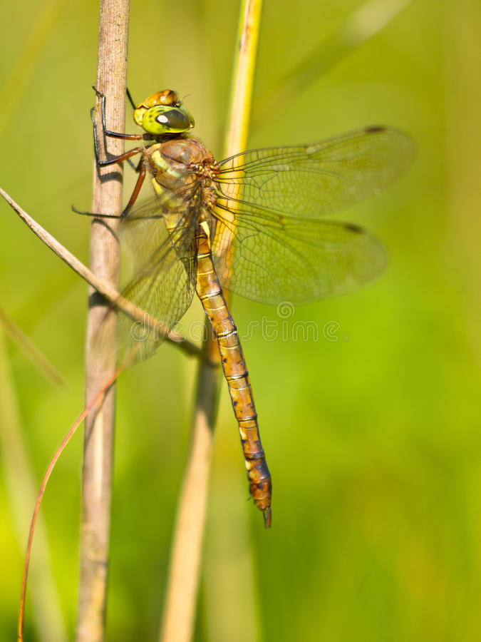 отдыхать листьев dragonfly стоковые фотографии rf