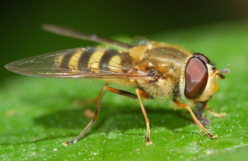 Отдыхать насекомого Hoverfly стоковые фото