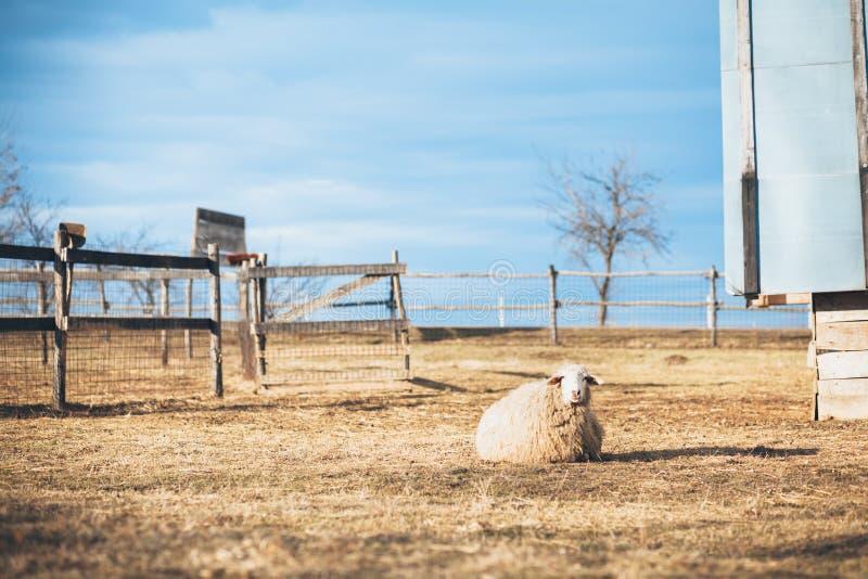 Отдыхать овец стоковое фото rf