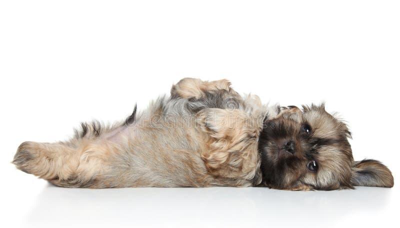 Отдыхать щенка Shih Tzu стоковые изображения