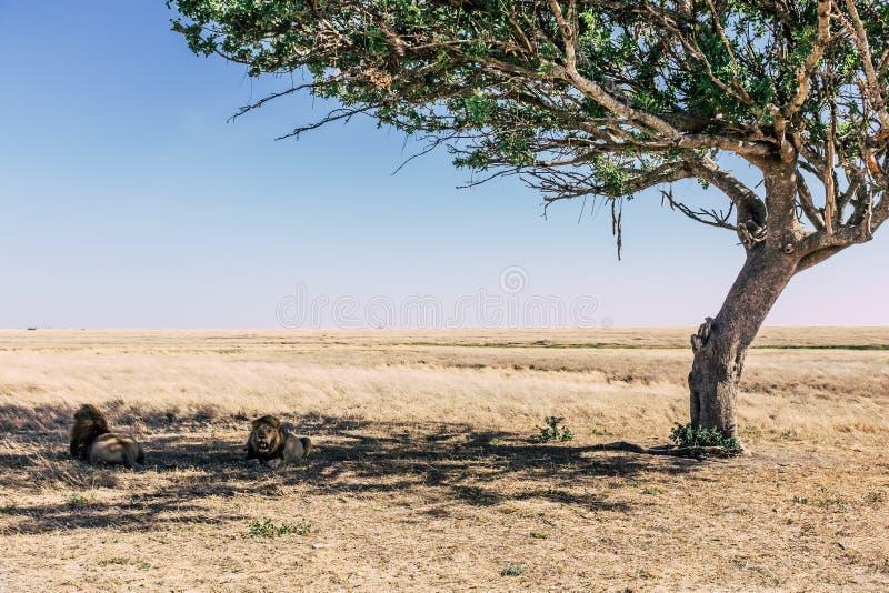 Отдыхать львов стоковая фотография rf