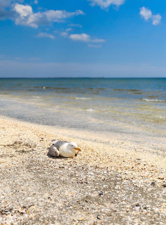 Отдыхая альбатрос стоковая фотография rf