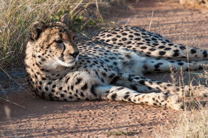 Отдыхая гепард стоковая фотография