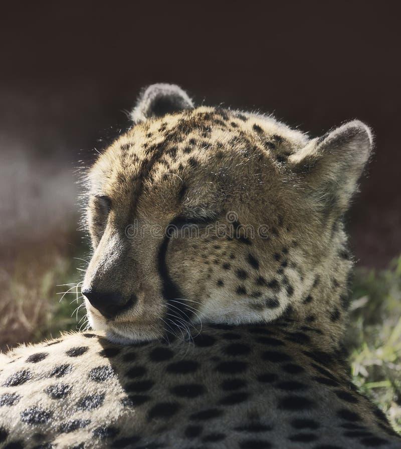 Отдыхая гепард стоковое изображение rf