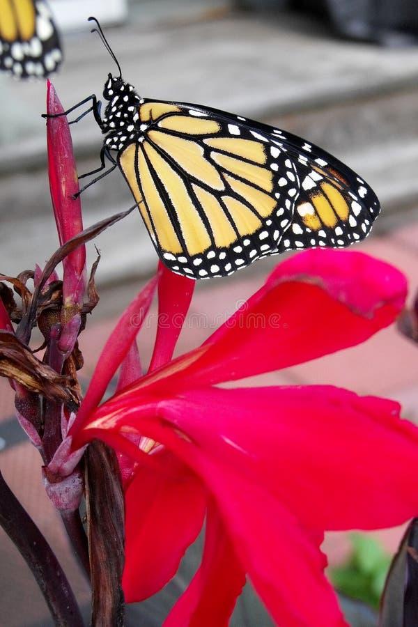 Отдыхая монарх стоковое изображение rf