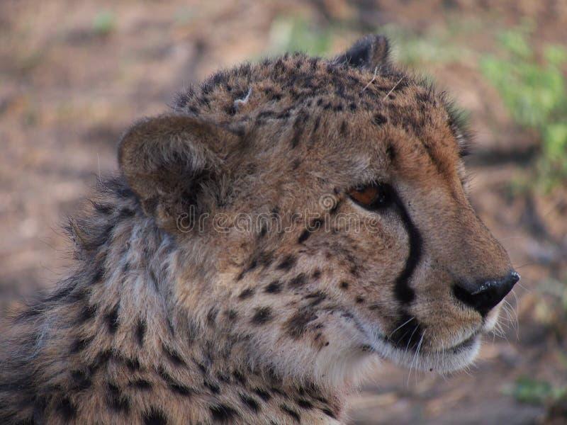 Отдыхая мужской гепард стоковое изображение rf