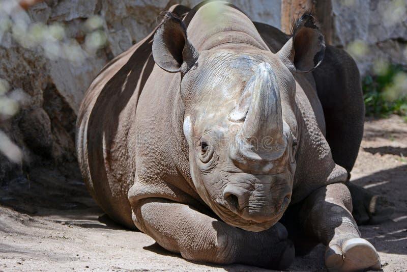 отдыхая носорог стоковые фото
