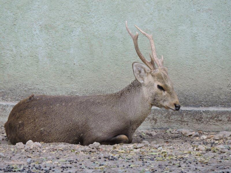 Отдыхая олени с antlers стоковые изображения