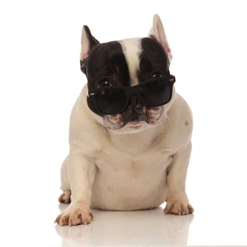 Охладите французского бульдога при солнечные очки смещая вниз с носа стоковые изображения rf