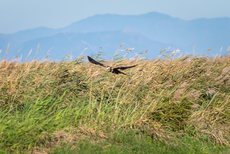 Охотиться и летание орла на лагуне и родовой растительности Взрослый коричневый орел на охоте в природном парке Albufera, стоковая фотография rf