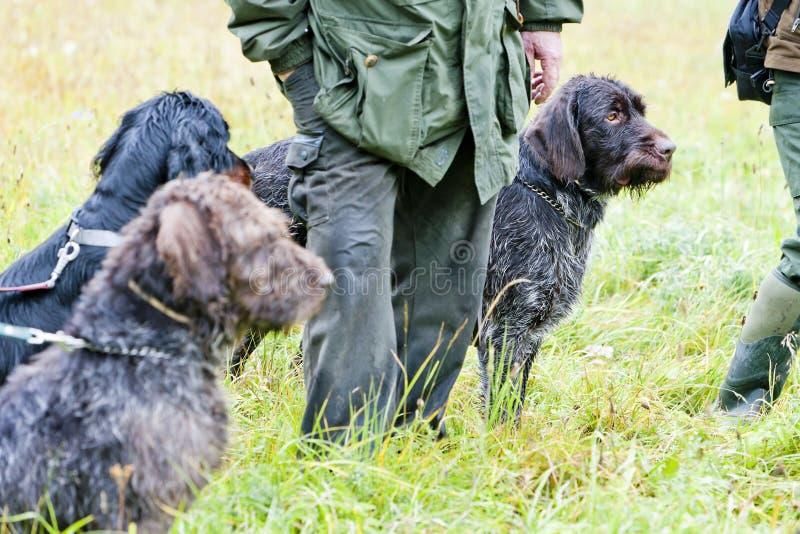 охотиться собак стоковые изображения