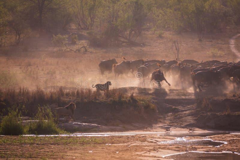 Охотиться львов стоковые фотографии rf