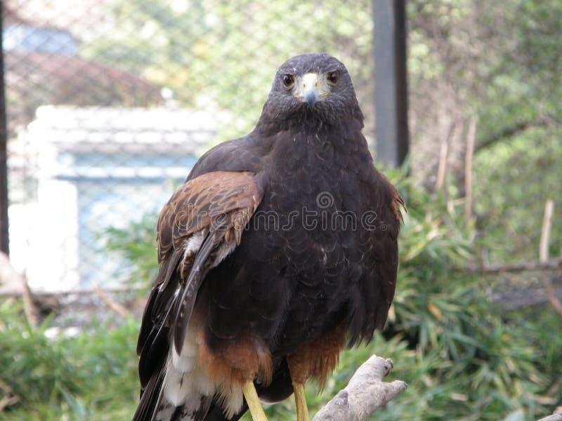 Охотник орла стоковое изображение rf